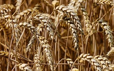Modell Weizenkorn